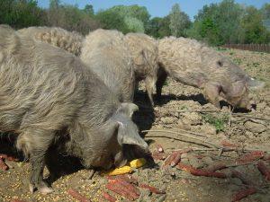 GAST 2018, Lonjsko polje, turopoljska svinja